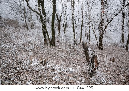 Frosted Snag In Forest