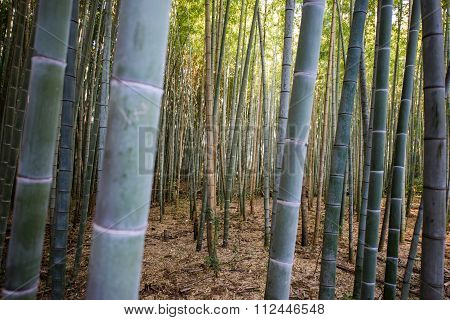 Closeup Of Bamboo Tree