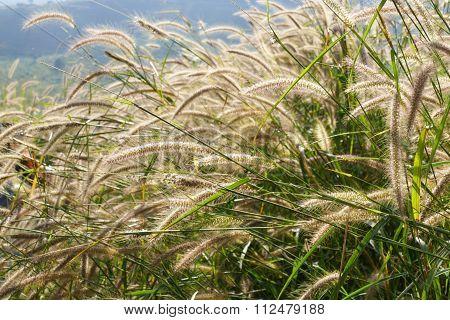 Poaceae Meadow