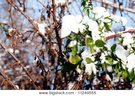 Wild Rose In Snow