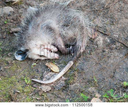 Opossum Playing Dead