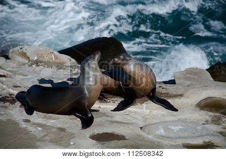 Flirting Couple Of California Sea Lions Near La Jolla Cove