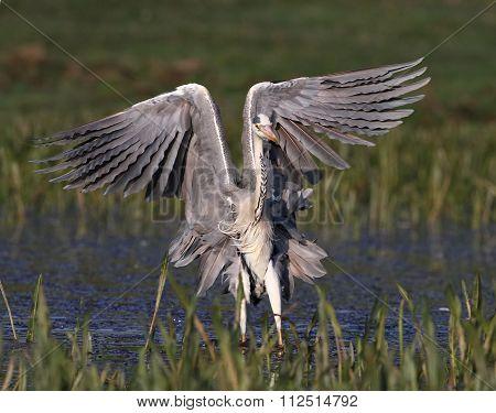 Yung Grey Heron, Ardea Cinerea  Landing And Show  Wings