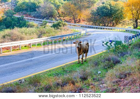 Cow On The Road In The Mountains