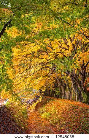 Kawaguchi, Japan at the Maple Leaf Corridor in autumn.