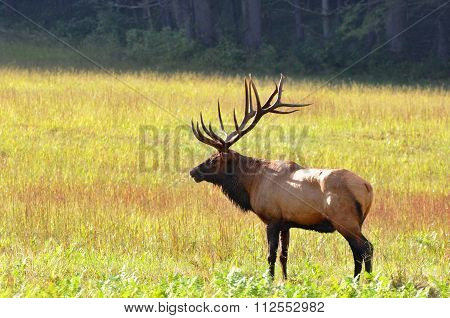 Bull elk during autumn at Cataloochee Valley in the Great Smoky Mountains of North Carolina