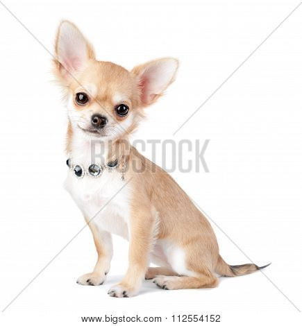 nice chihuahua puppy with jewelry  isolated on white