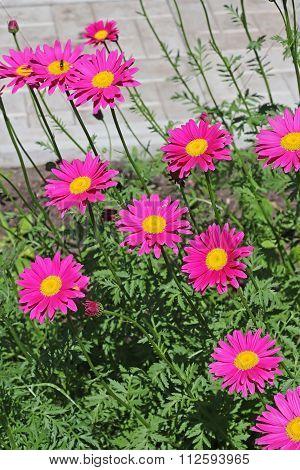 Decorative Garden Flower Feverfew ( Pyr?thrum)