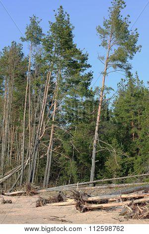 Broken Pine Trees