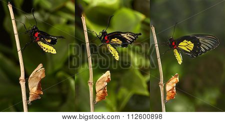 Emerging And Metamorphosis Of Tropical  Golden Birdwing  Butterfly, Wings Drying