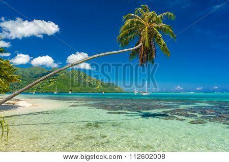 Coconut tree in a beach in Moorea