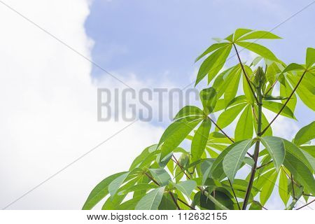 Cassava plantation Northeast of Thailand.Leaves of cassava plant. Cassava is the third largest source of food carbohydrates in the tropics after rice and maize.sky,leaf,tree,farm,green,yuca,field,root poster