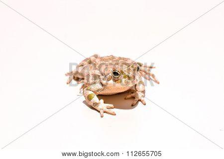 Bufo Common European Toad