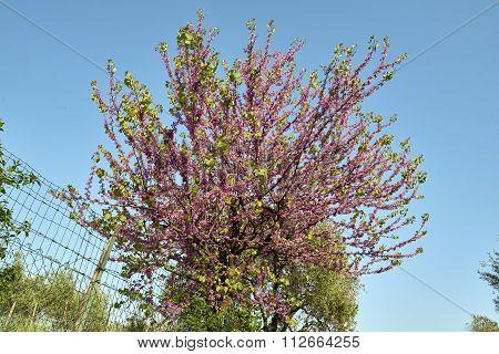 Tree Of Judas