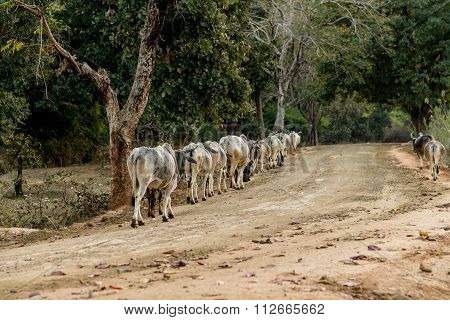 Cows Heading Home