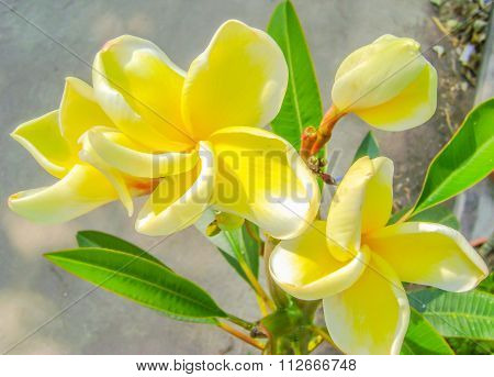 White Frangipani Tropical Flower, Plumeria Flower Blooming On Tree