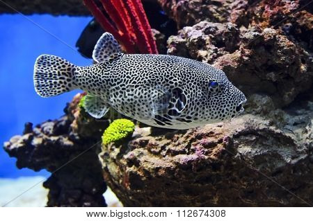 Spotted puffer fish
