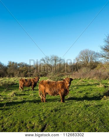 Two Highland Cows Looking Curiously