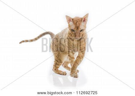 cute plush red kitten Cornish Rex