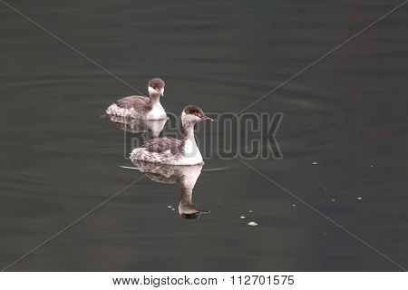 Two Horned Grebes.
