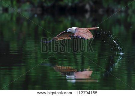 Brahminy Kite Red Backed Sea Eagle Haliastur Indus Flying