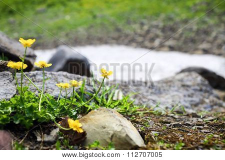 buttercup flowers between stones in the snowy mountains