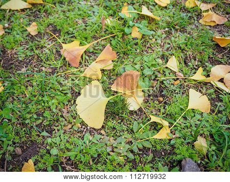 Yellow Autumn Ginko Leaf