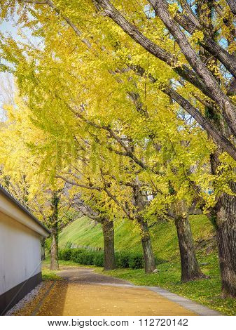 Yellow Autumn Ginko Tree