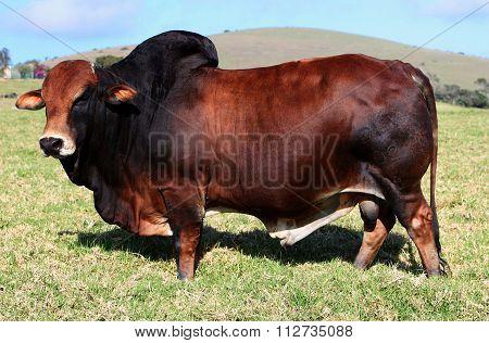 Boran Beef Red Bull Stud Sire