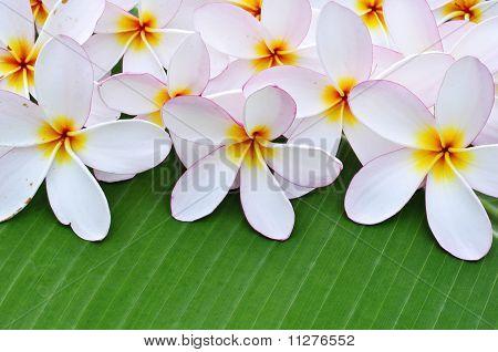 Plumeria flowers on banana leaf