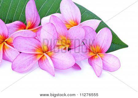 Frangipani with leaf