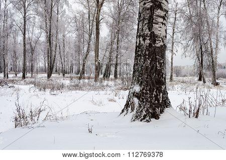 Birchwood On An Overcast Winter Day