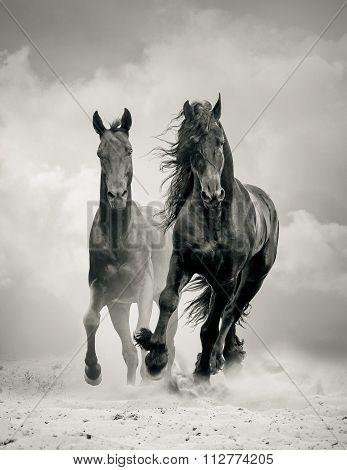 Black Stallions