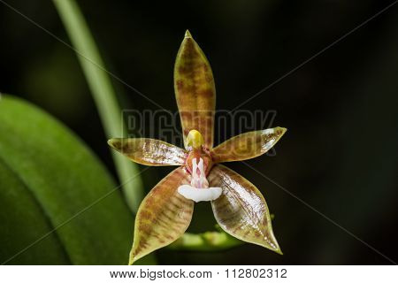 Yellow Brown Orchid Flower