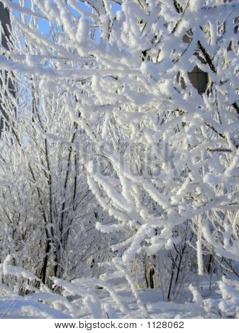 Trees In A Snow.
