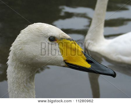 Head and neck of the swans