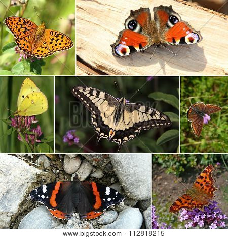 Collage of European butterfly species I
