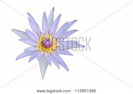 Light Violet Lotus Flower Top View Has Some Drop Water On The Petal, Isolated On White Background.