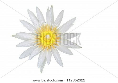 Bright White Lotus Flower Top View Has Some Drop Water On The Petal, Isolated On White Background.