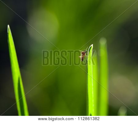 Macro Of Mosquito On Grass Blade