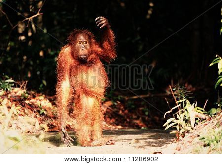 Cub Of The Orangutan.