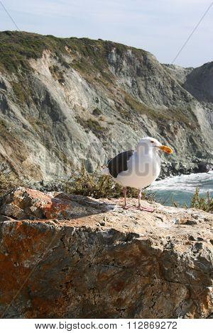Sea Gull At Big Sur Coast, California, Usa