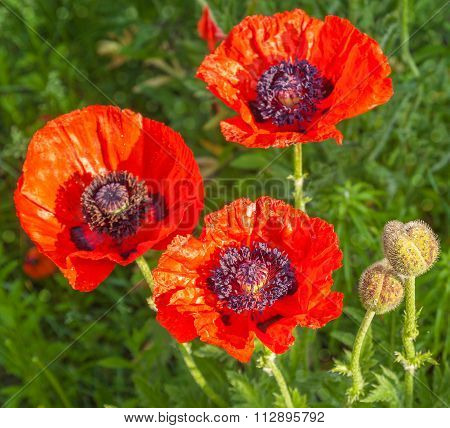 Single Papaver Orientale (oriental Poppy) Is A Perennial Flowering Plant Native To The Caucasus