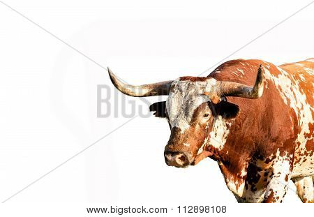 Close up of Texas longhorn bull isolated on white background