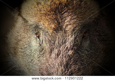 Abstract Portrait Of Wild Boar