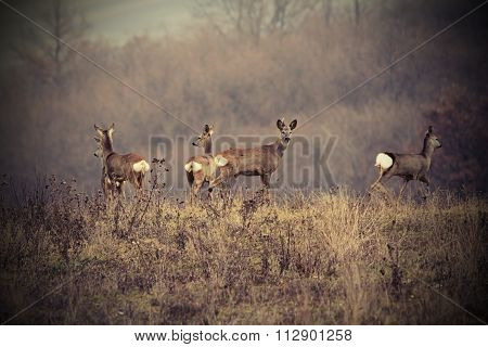 Beautiful Image With Roe Deers