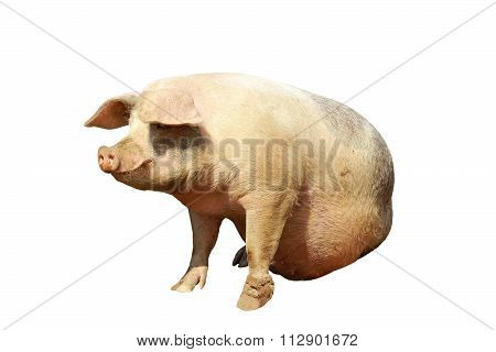 Isolated Full Length Domestic Pig