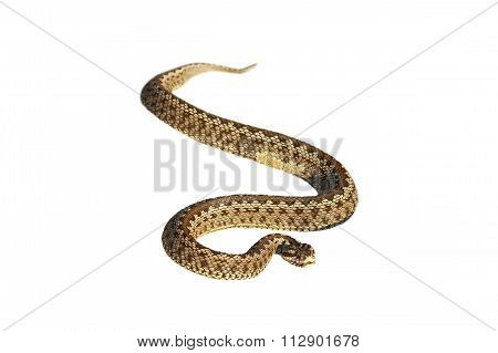Isolated Moldavian  Meadow Adder