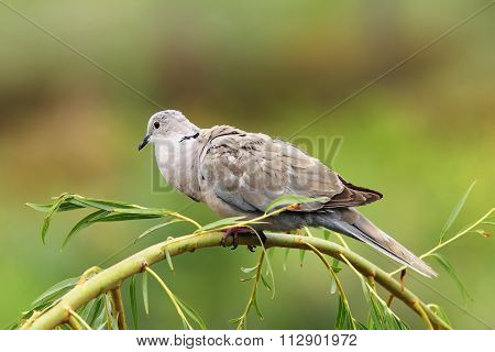 Turtledove On Willow