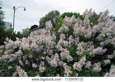 Lilac Bush in the Centennial Park